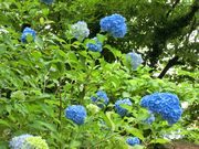 Popular flower in June in Japan